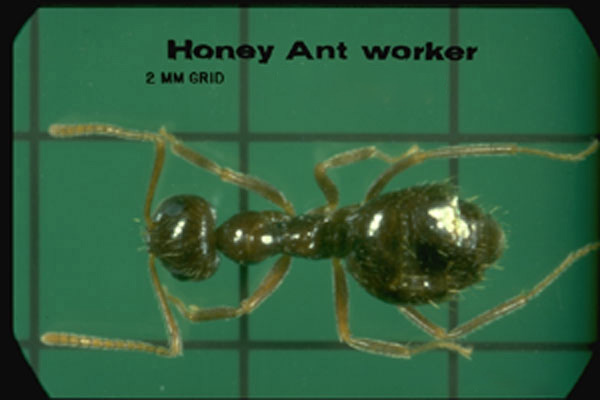 Small (False) Honey Ant