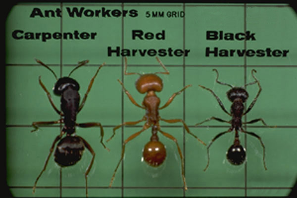 Black Harvester Ants