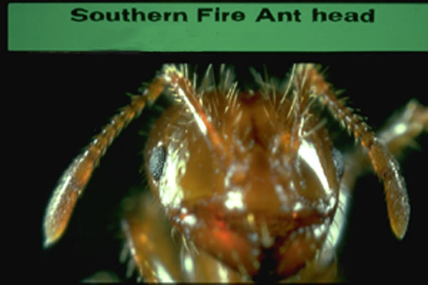 Southern Fire Ant
