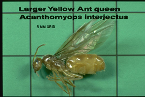 Larger Yellow (Citronella) Ant