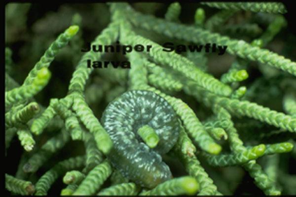 Pine Sawflies