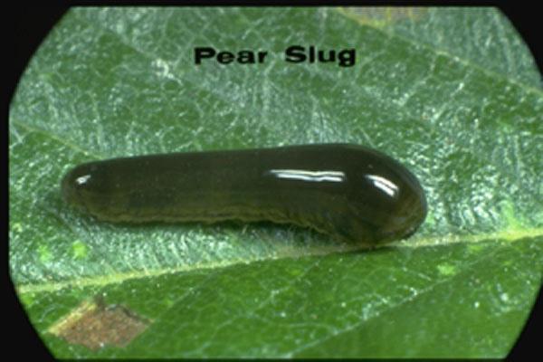 Pear Sawfly