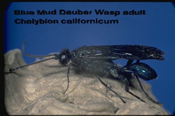 Blue Mud Dauber
