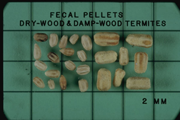 Southeastern Drywood Termite