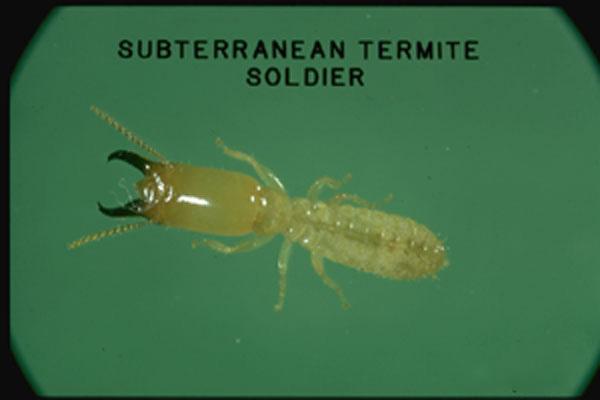 Western Subterranean Termite