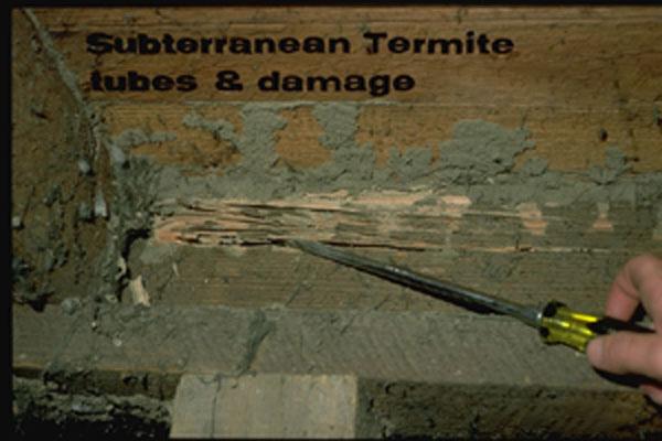 Eastern subterranean termite