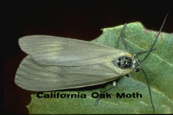 California Oakworm