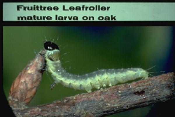 Fruittree Leafroller