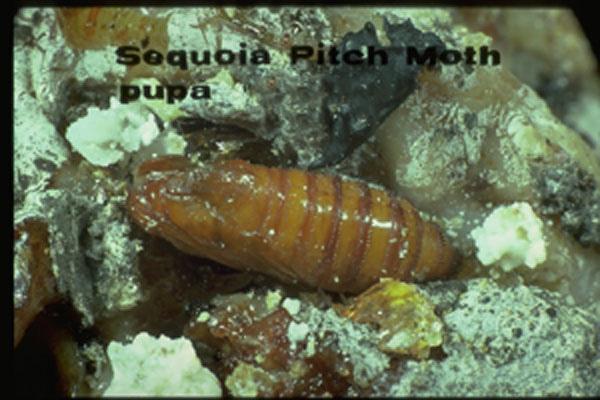 Douglas-fir Pitch Moth