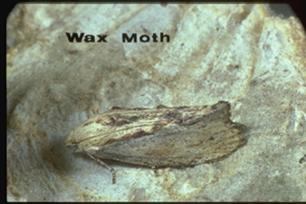 Greater Wax Moth