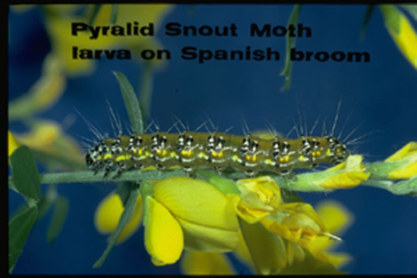 Genista Broom Moth