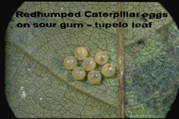 Redhumped Caterpillar