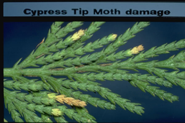 Pine Tip Moths