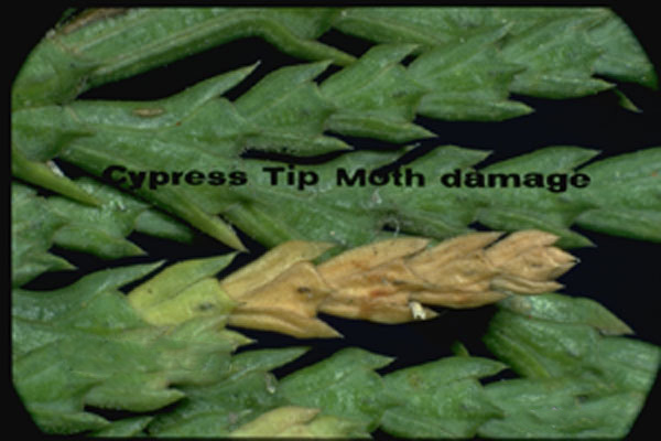 Pine Tip Moths