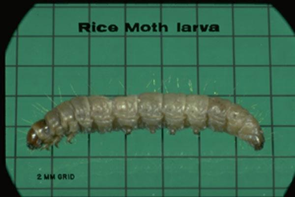 Rice Moth