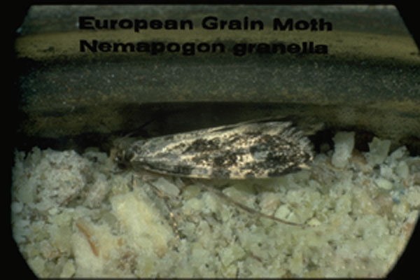 European Grain Moth