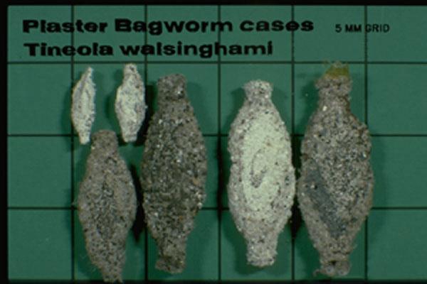 Plaster Bagworm