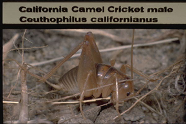 Camel cricket