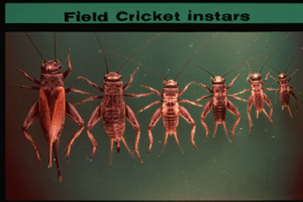 Field Crickets