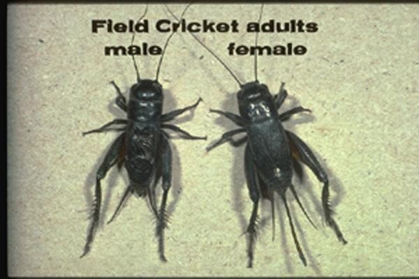 Field Crickets