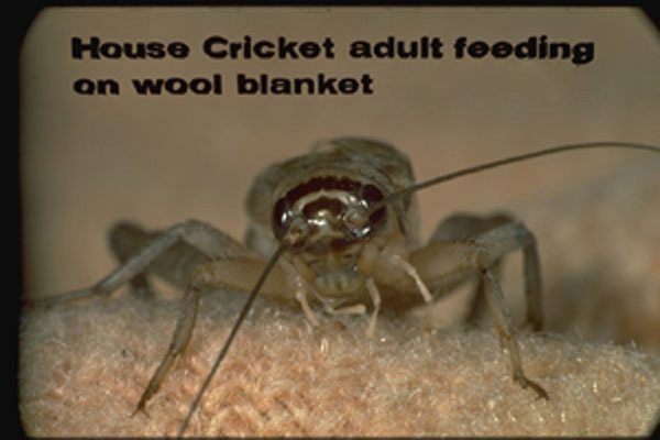 House Crickets
