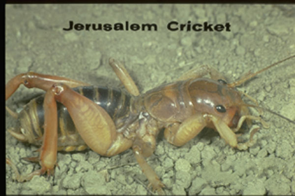 Jerusalem Crickets
