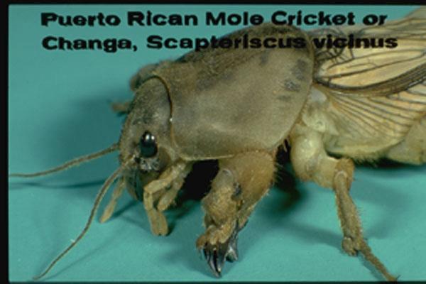 Tawny mole cricket