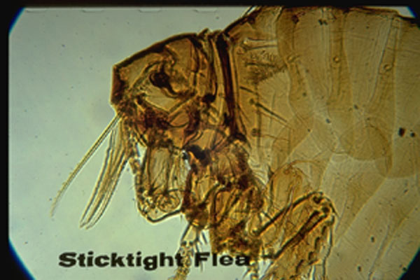 Sticktight Flea