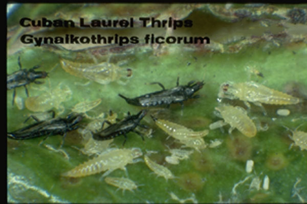 Cuban Laurel Thrips