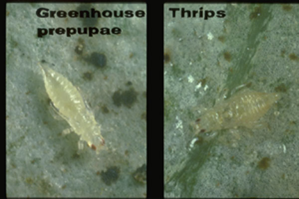 Greenhouse Thrips