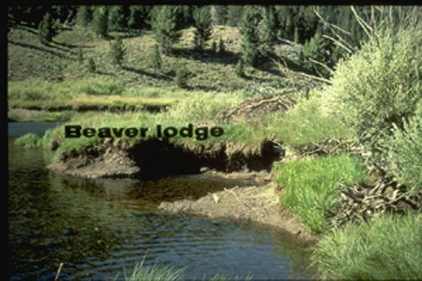 north american beaver essay