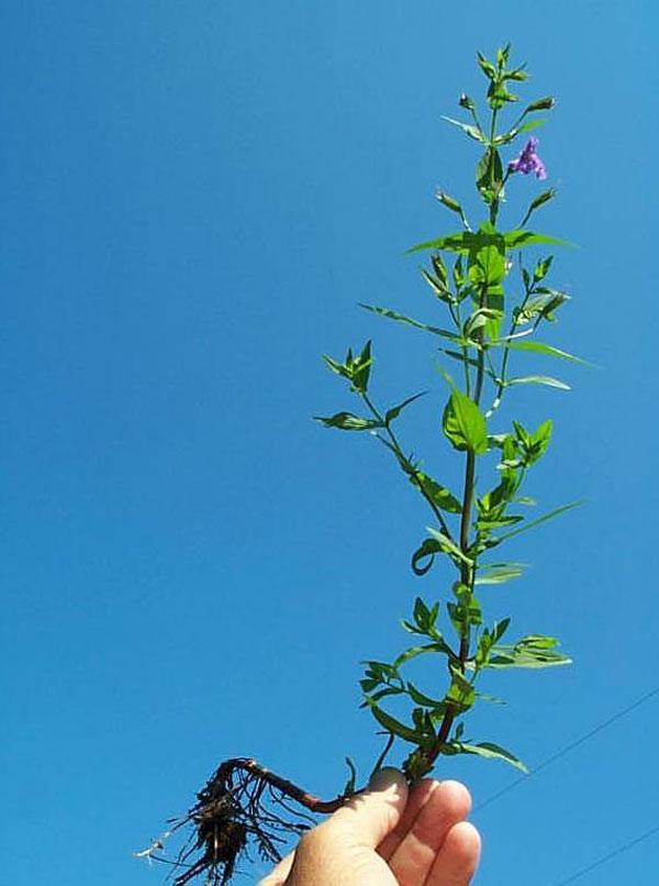 Allegheny Monkeyflower