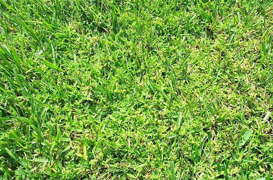 Blanket Crabgrass