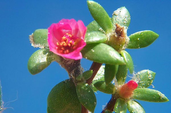 Broadleaf Pink Purslane