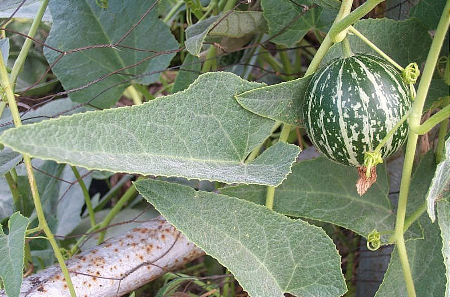 Buffalo Gourd