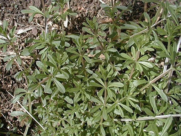 Carpetweed