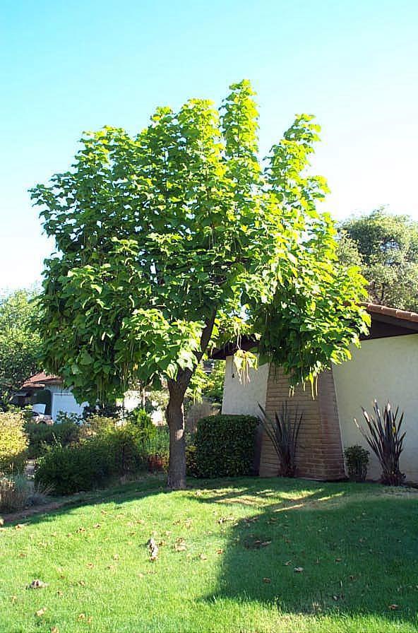 Southern Catalpa Tree