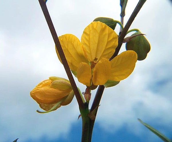 Coffee Senna