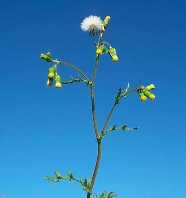 Common Groundsel