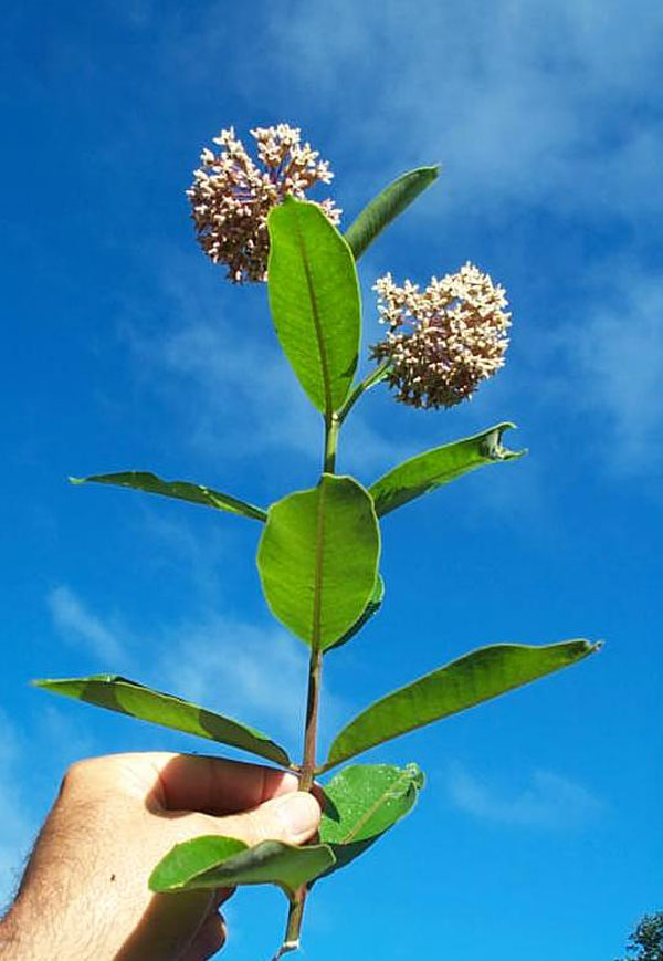 Common Milkweed