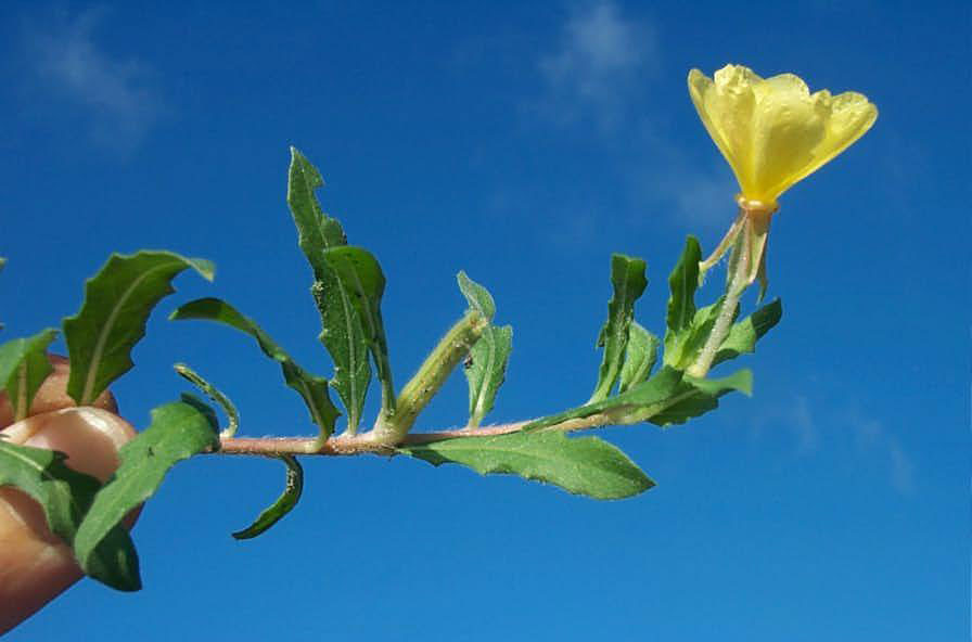 Cutleaf Evening Primrose