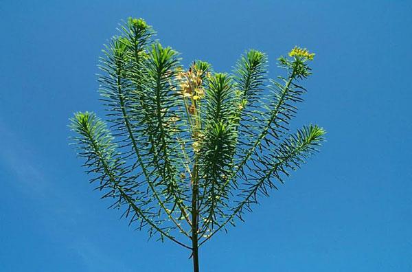Cypress Spurge