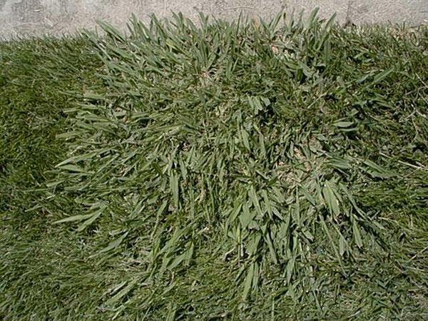 Dallisgrass