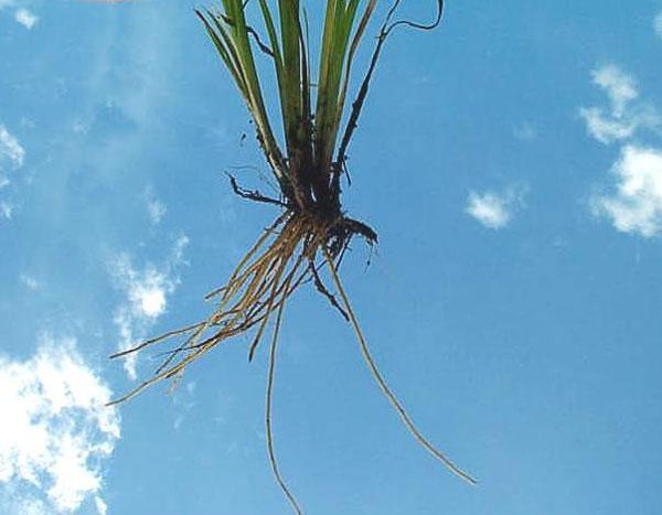 Eastern Blue-eyed Grass
