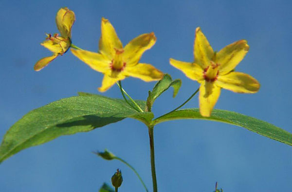 Four-flower Yellow Loosestrife