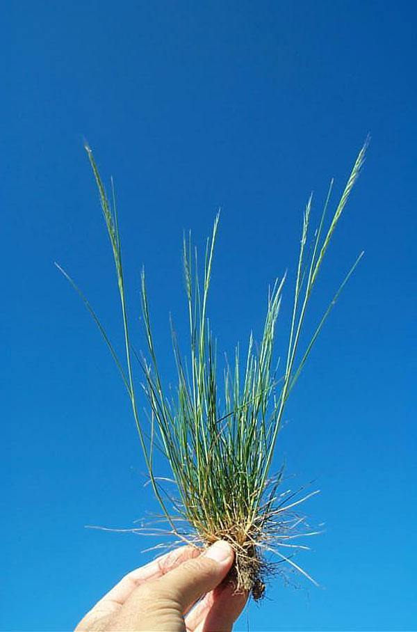 Rat-tail Fescue