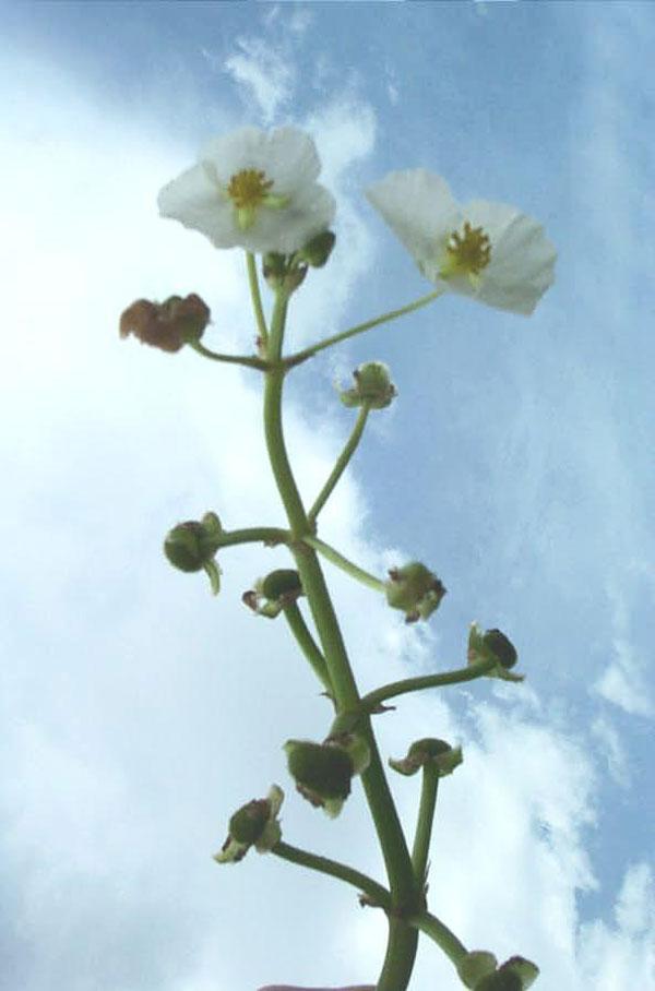 Grassy Arrowhead