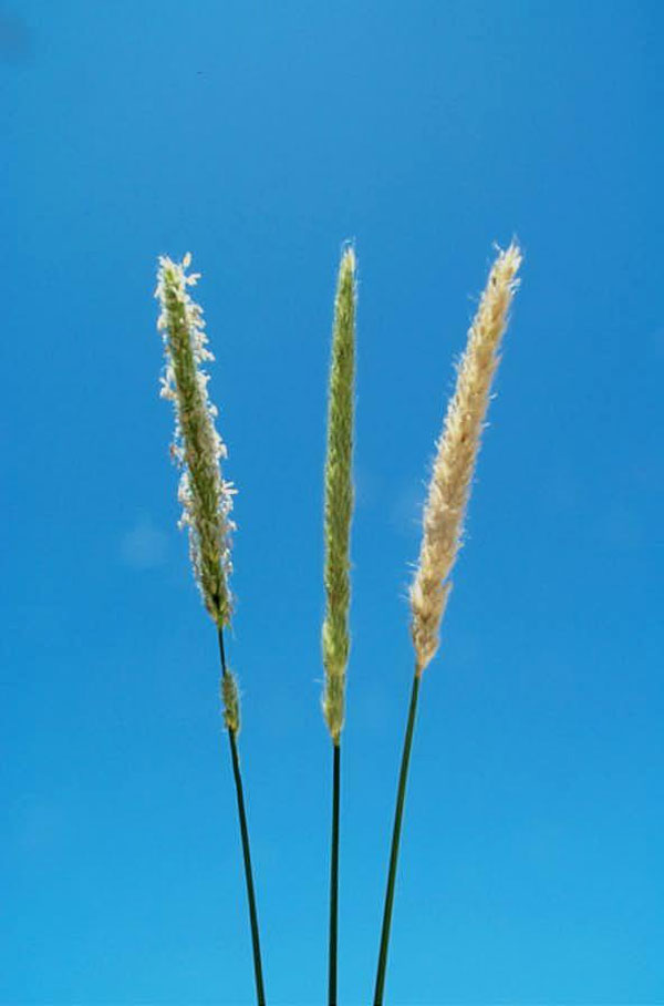 Harding Grass