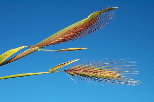 Hare Barley