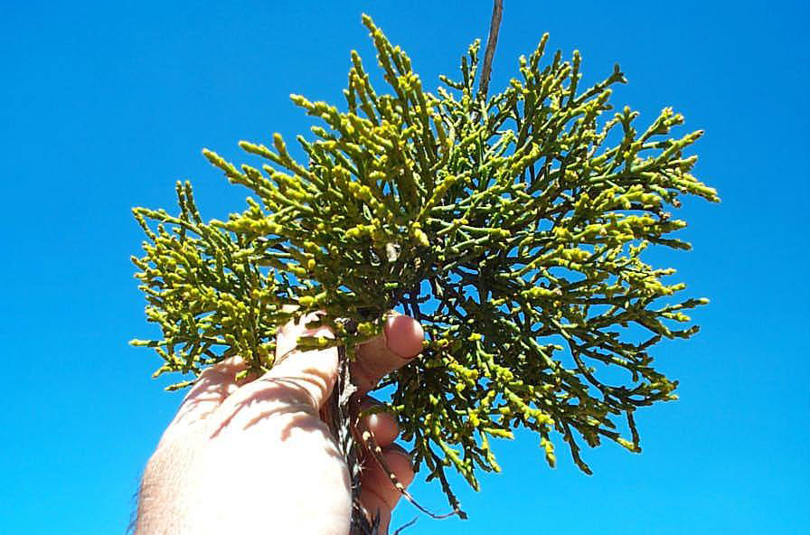 Juniper Mistletoe